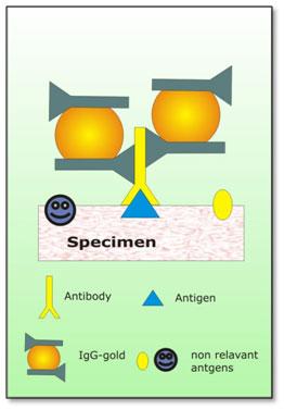 Immunolabeling-IgG-Gold