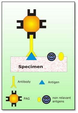 Immunolabeling-ProteinA-Gold